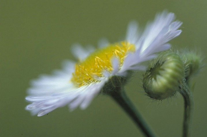 Simple Fleabane