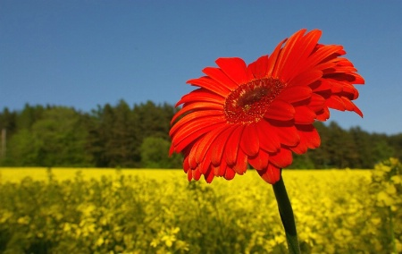 Gerbera and Canola