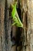 Grasshoper # 2