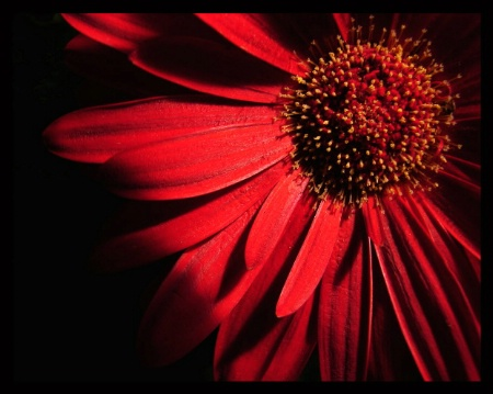 Gerbera Project #4-Ruby Red