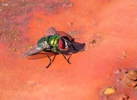 Rusty Fly