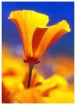 California Poppy ...
