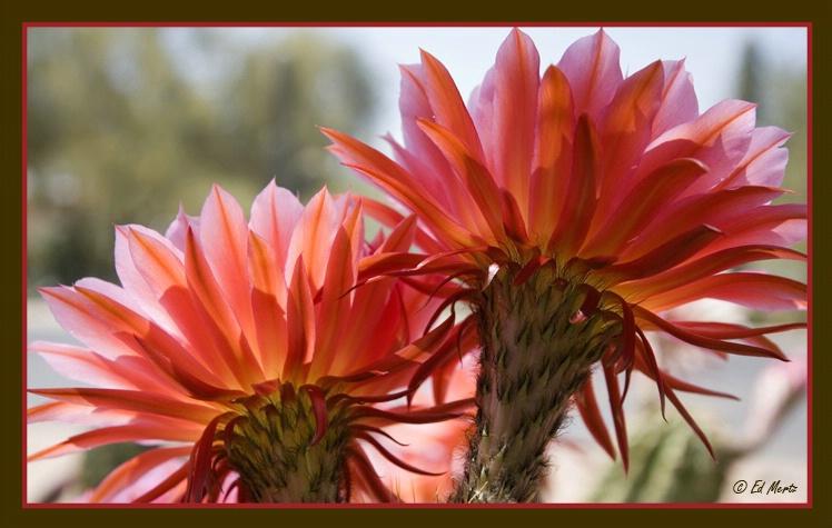 <i>Echinopsis</i> 'Flying Saucer'   #8 - ID: 2147673 © Edward H. Mertz