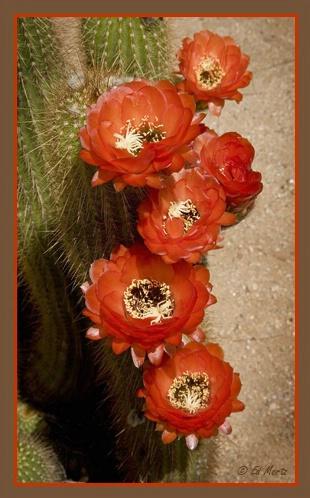 <i>Echinopsis huascha</i> 'Red Torch'   #1 - ID: 2147930 © Edward H. Mertz