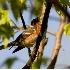 © Robert Hambley PhotoID # 2148568: Bay Breasted Warbler