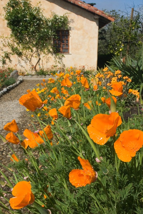 Poppies at Carmel Mission