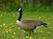 Just a Goose