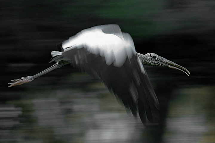 Endangered Wood Stork in Flight, in the Wild.