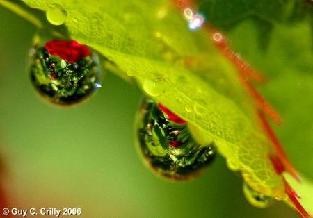 Rose Leaf Droplets