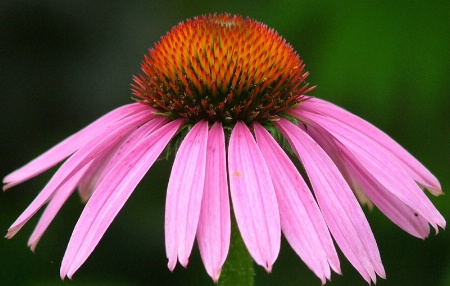 Perfect Coneflower