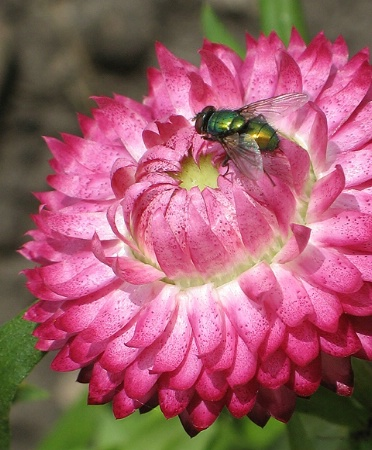 Flower and a Fly