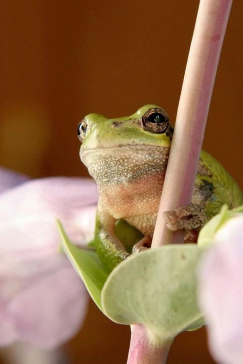 Common Grey Tree Frog in Flowers