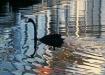 Black Swan Design