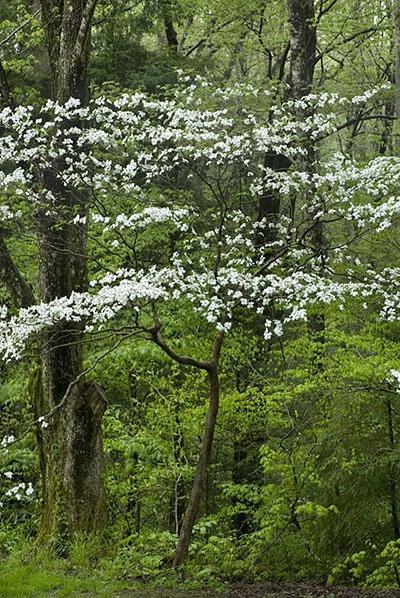 dogwood tree - ID: 2223516 © Brian d. Reed