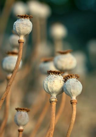 Poppy Heads II