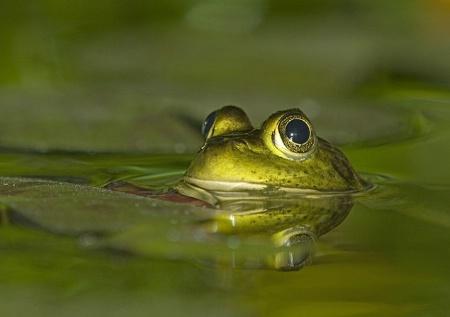 Leopard Frog #3