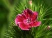 Wild Flower-red