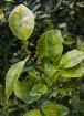 Citrus Greening a...