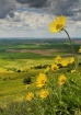Palouse Wildflowe...