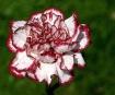 Frilled Carnation