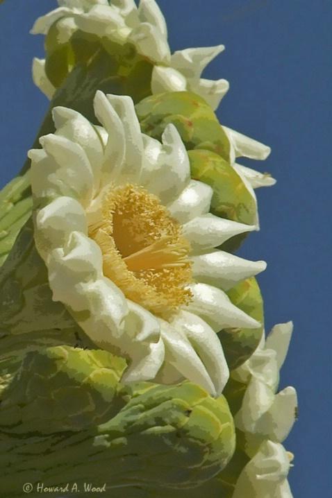 Springtime Saguaro