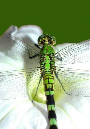 """Green Dragon"""