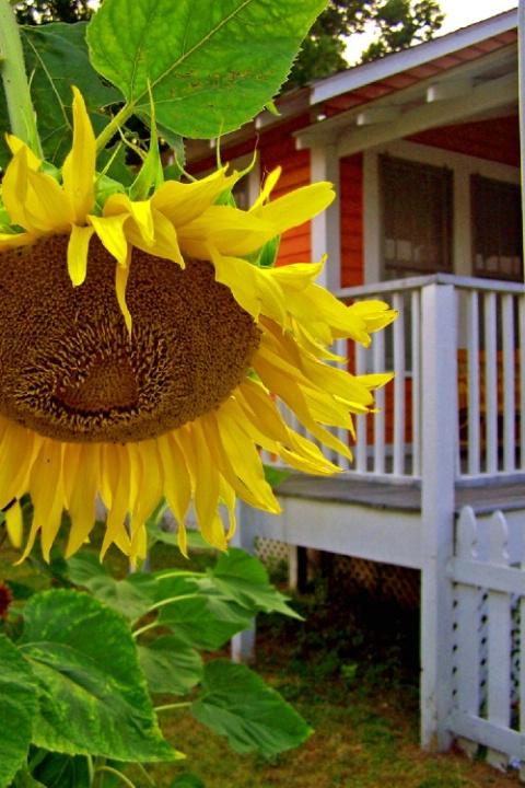 Pensacola- summer sunflower