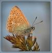 Polyommatus icaru...