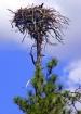 Ospray Nest