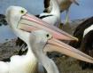 Pelican beaks!