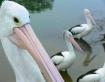 Pelican detail
