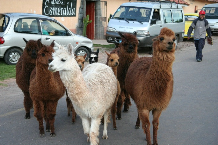 Alpaca Troop