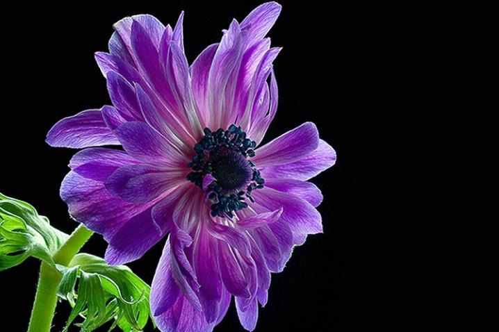 anemone, purple, flower, macro