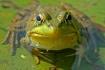 Froggy Eyes