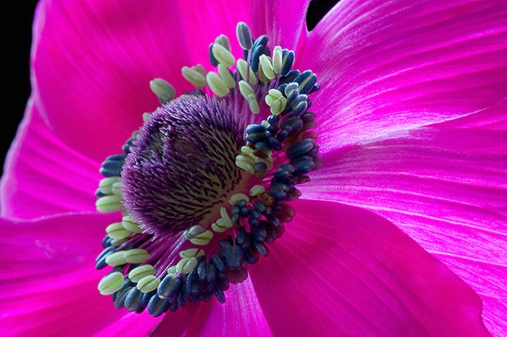 anemone, pink, flower, macro
