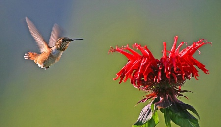 Rufous Hummingbird approaching Bee Balm