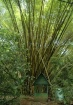 Bamboo tree in Co...