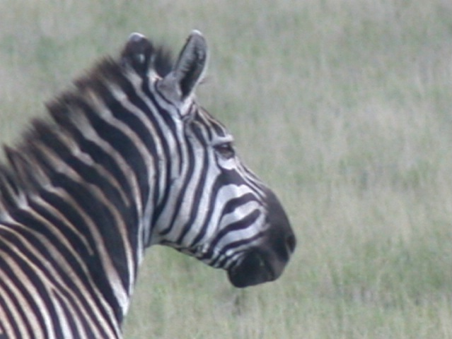 Zebra Ethiopia
