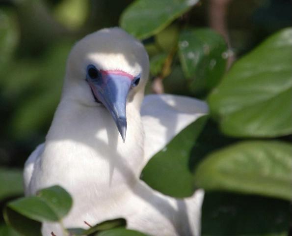 Boobie Bird, Belize