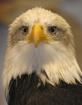 Bald Eagle, Rapto...