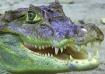Florida- Alligato...