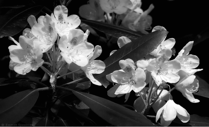 Mountain Laurel B and W