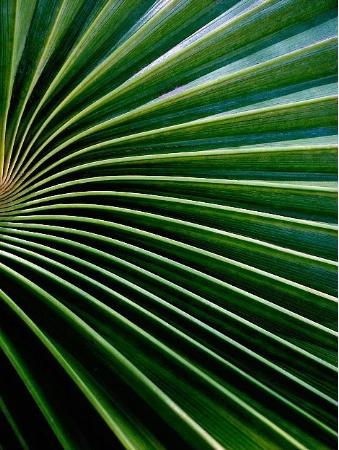 Fan Plant