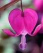 My Bleeding Heart