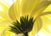 Gerber Daisy  # 4