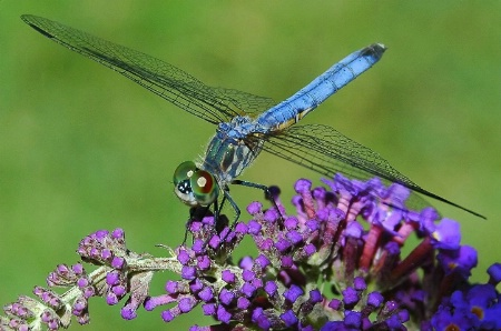 dragonfly bliss