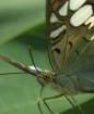 Butterfly Macro (...