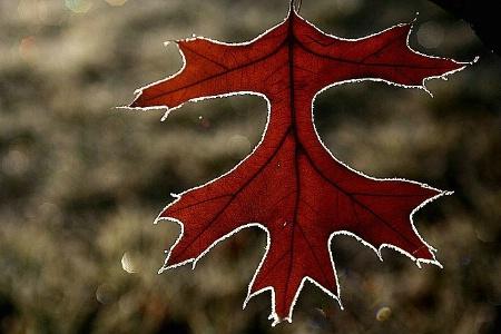 Frosty leaf, Canberra