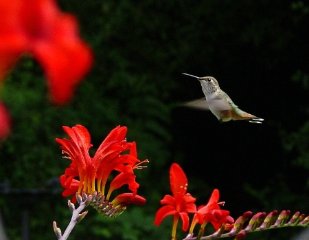Hummingbirds Favorite