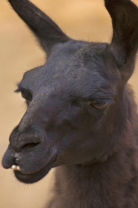 Llama - ID: 2398773 © Virginia Ross